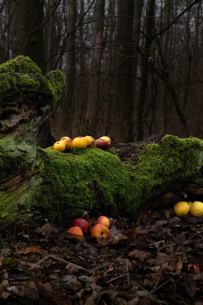 Rotten apples on a tree bark covered in moss