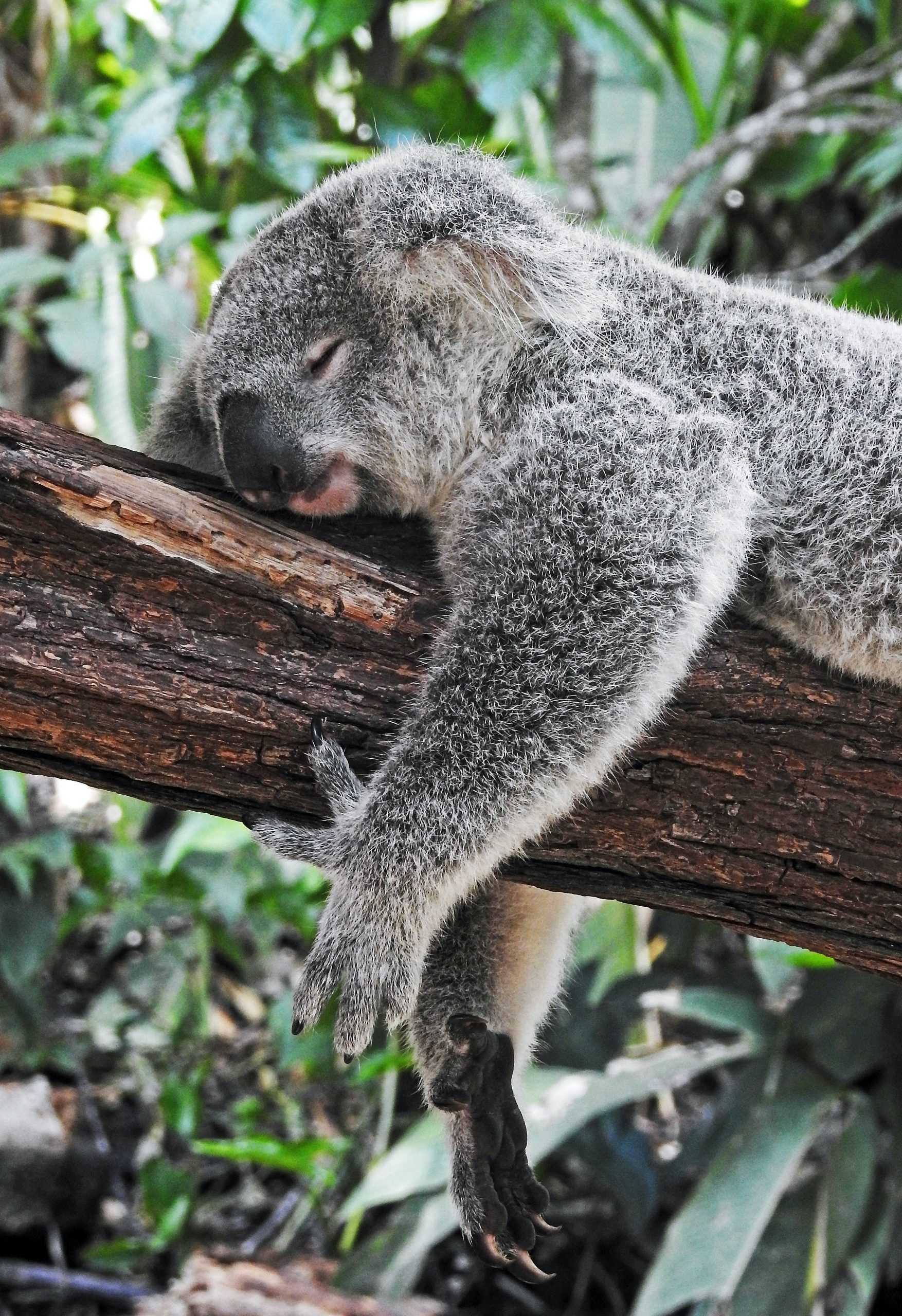 """Koala bear sleeping on a tree a picture for the post """"how I manage my anxiety"""""""