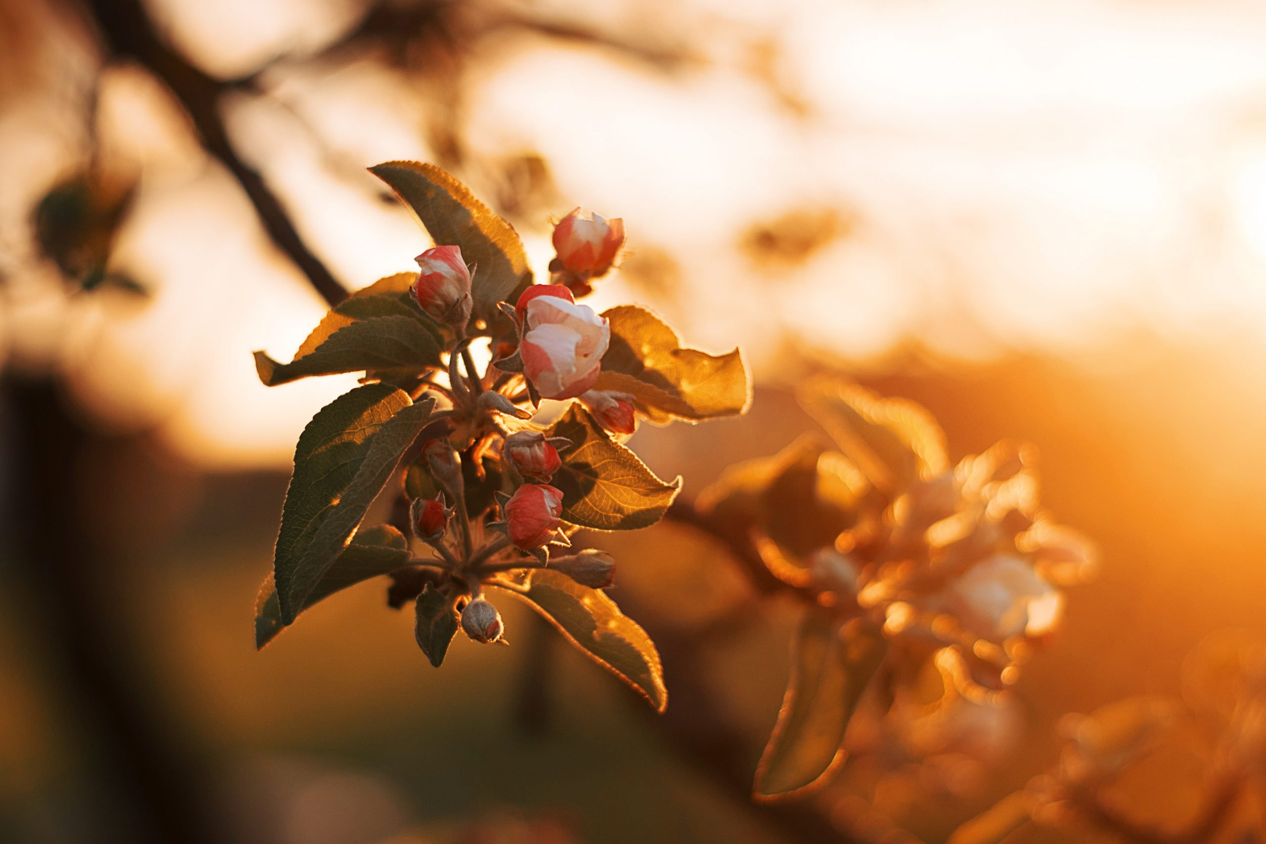 """Apple tree blossoms in fading sunlight a picture for the post """"how I manage my anxiety"""""""