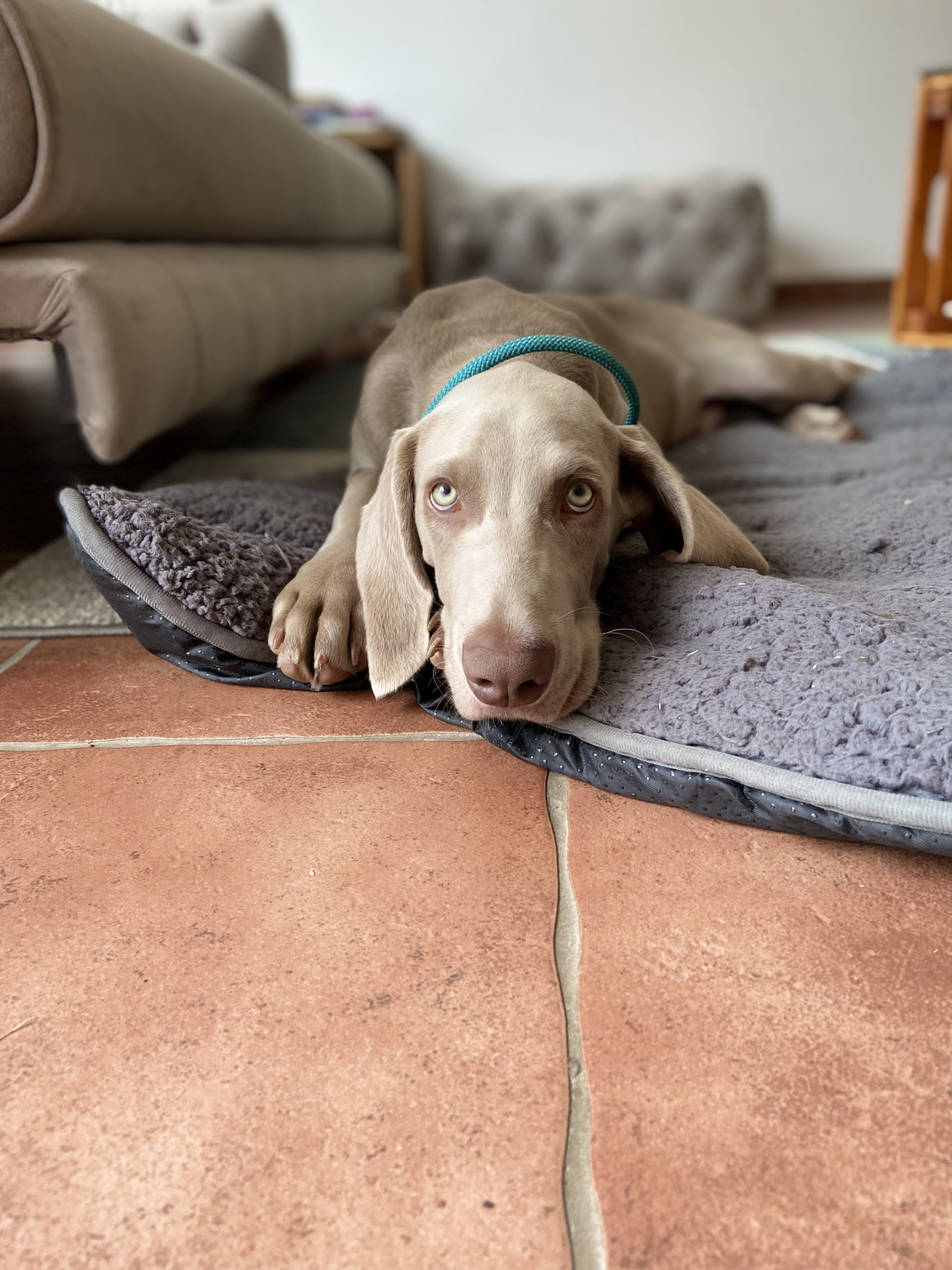 Weimaraner baby laying on a pillow