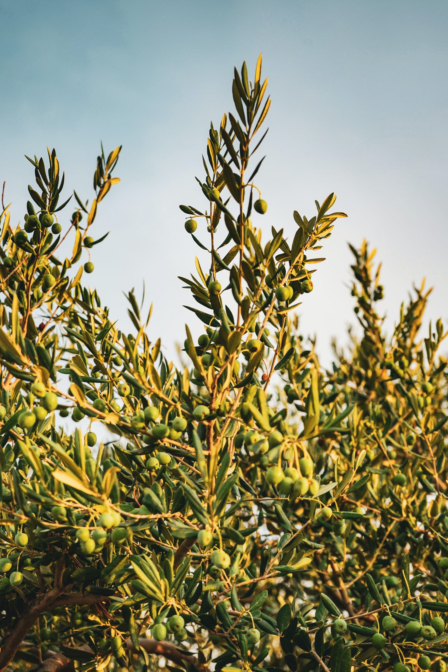Olives on branches in the wind with a blue sky