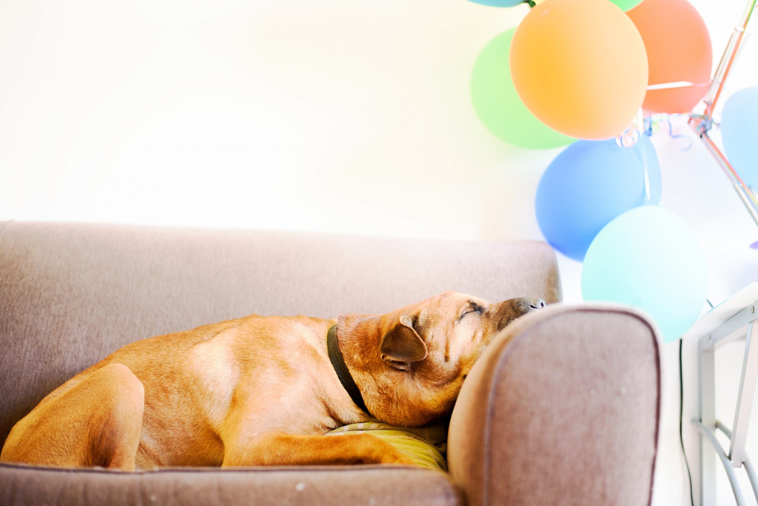 Puppy sleeping on a sofa with balloons in the background