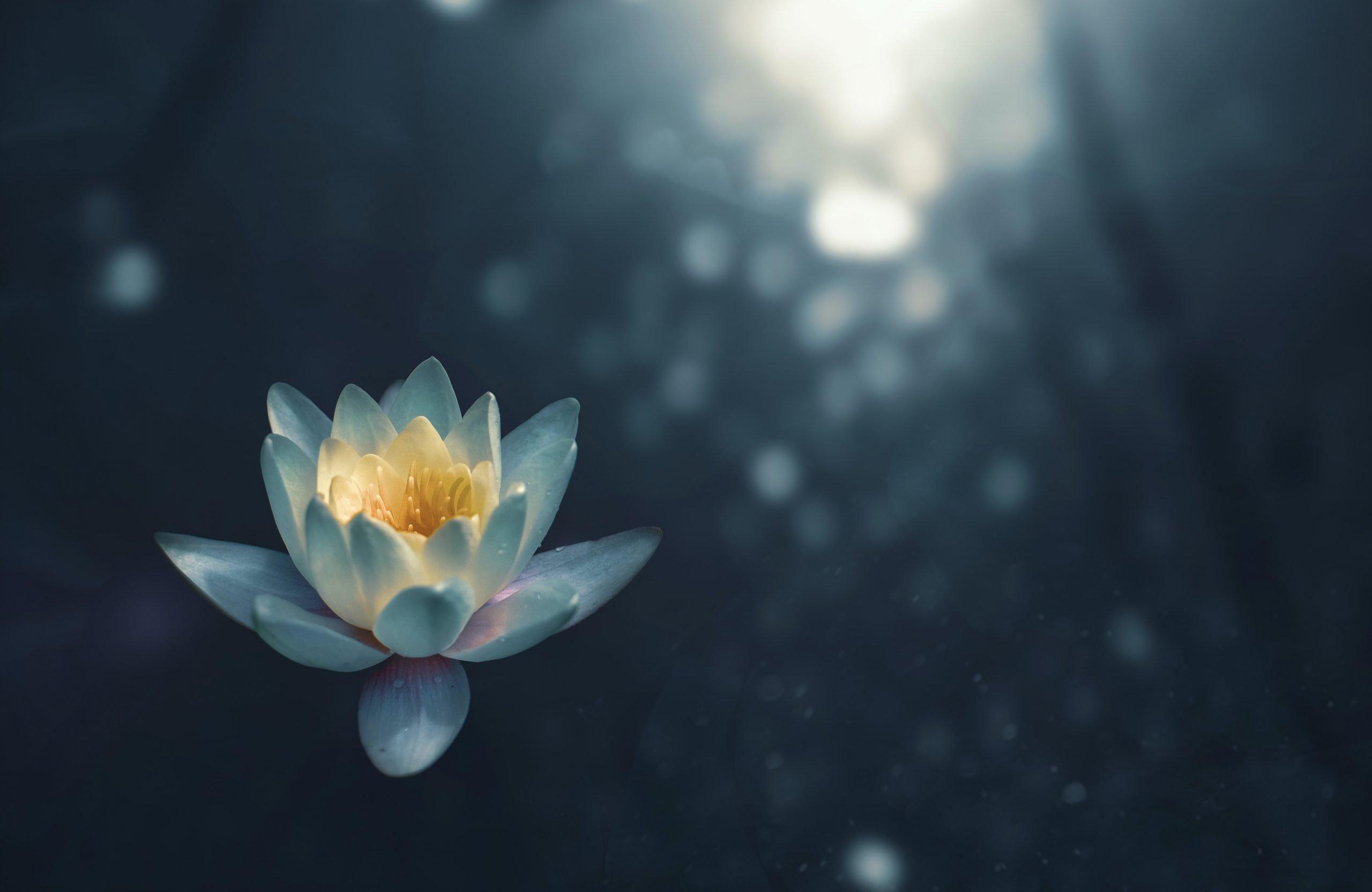 Lotus flower swimming in a lake