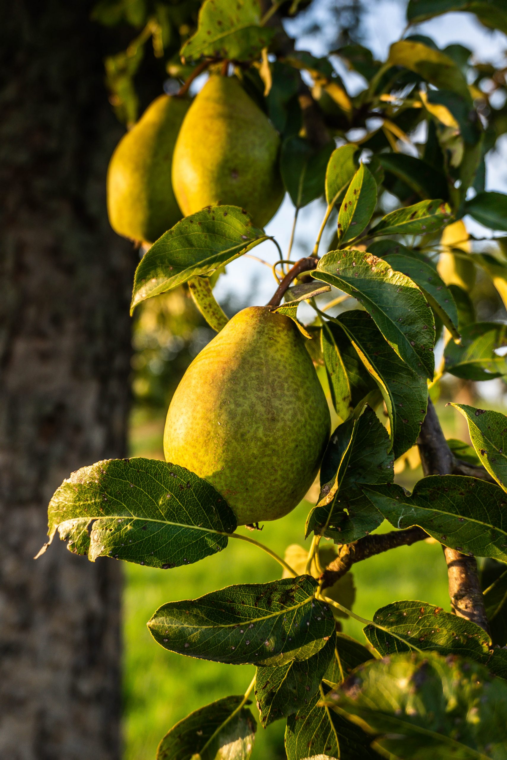 Pears hanging on a pear tree