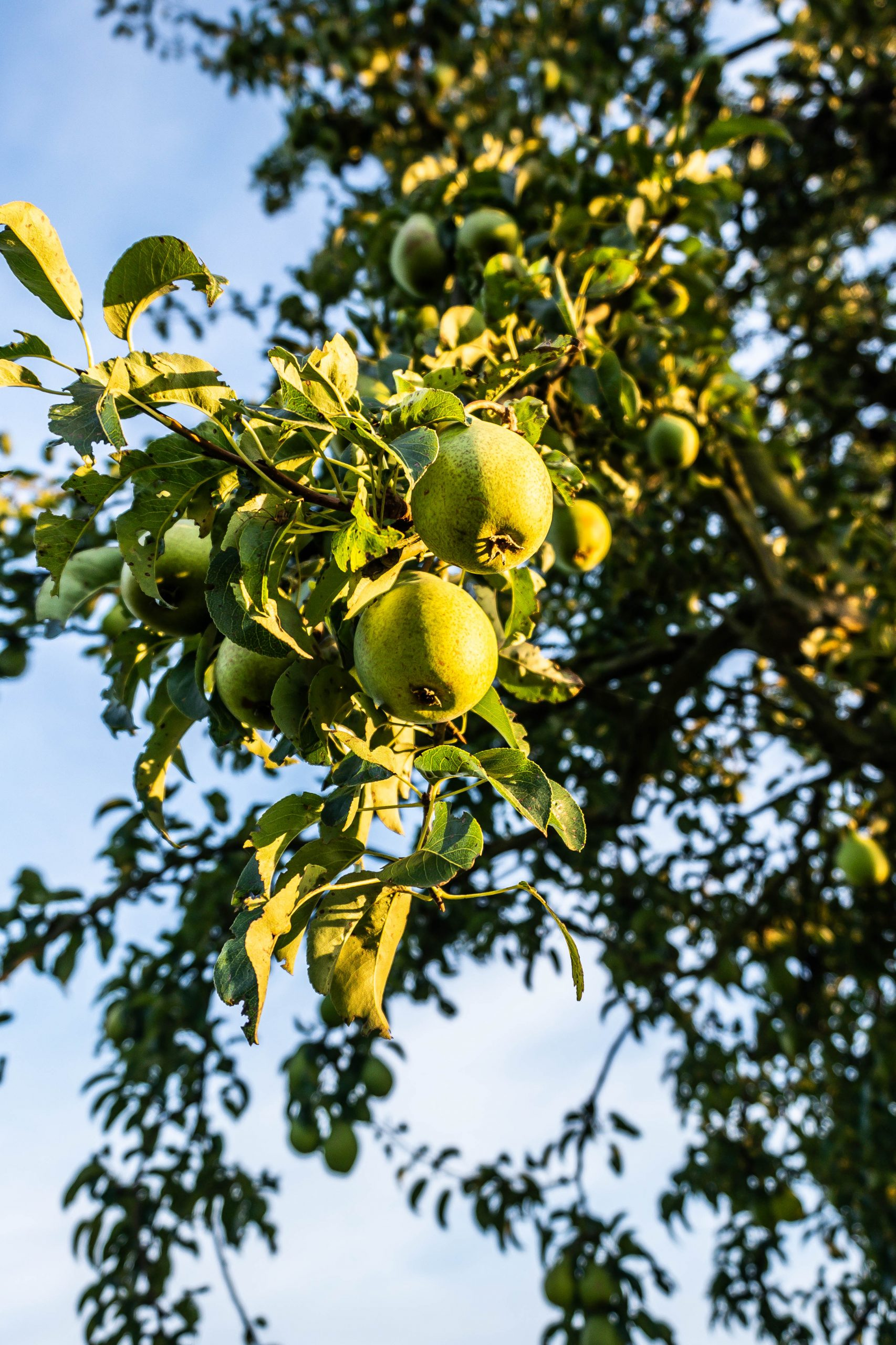 Pears photographed on a pear tree against a blue sky